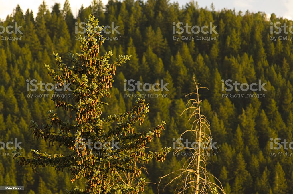 Forest and Trees with Pine Cones stock photo