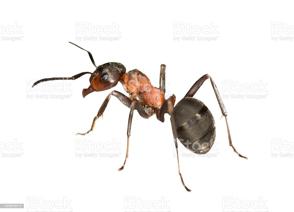 forest ant left side stock photo