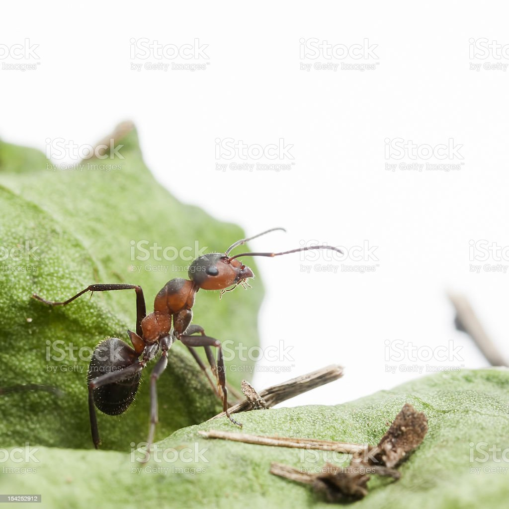 Forest Ant stock photo