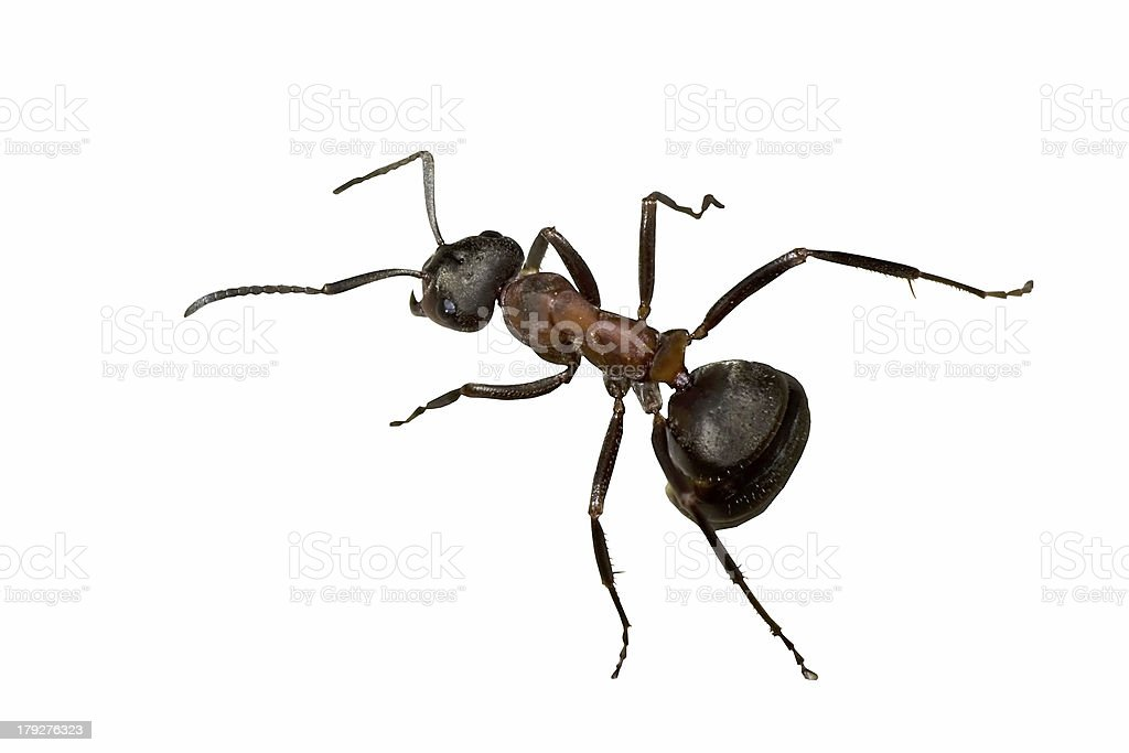 forest ant royalty-free stock photo