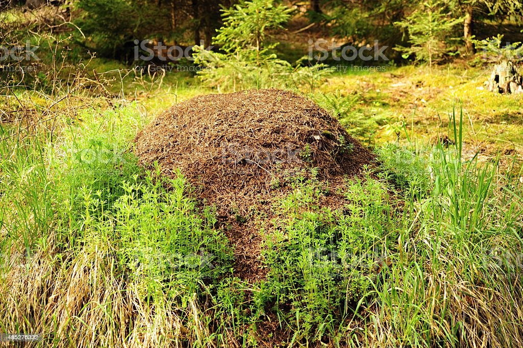 Forest anthill stock photo