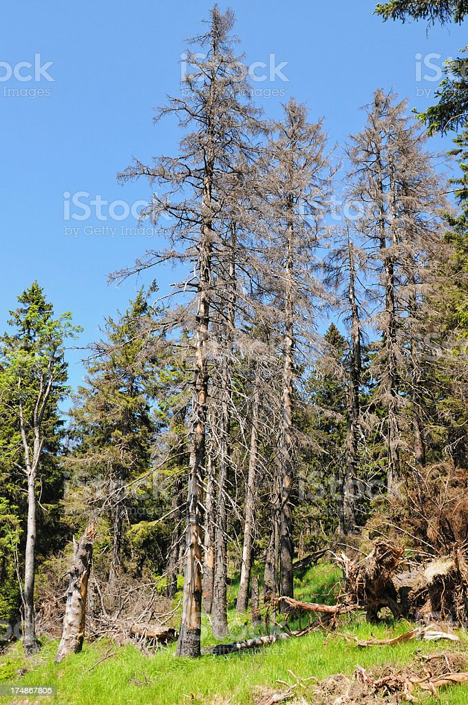 forest at Brocken Mountain damaged by Bark beetle stock photo
