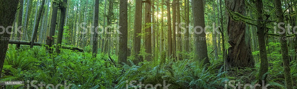 Forest At Dawn stock photo