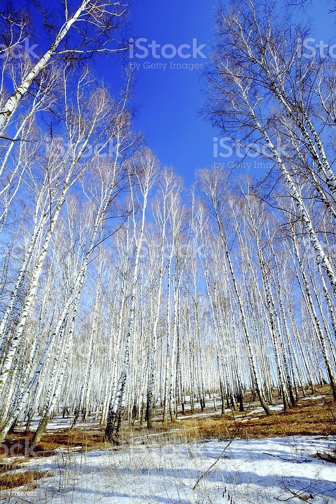forest birch royalty-free stock photo