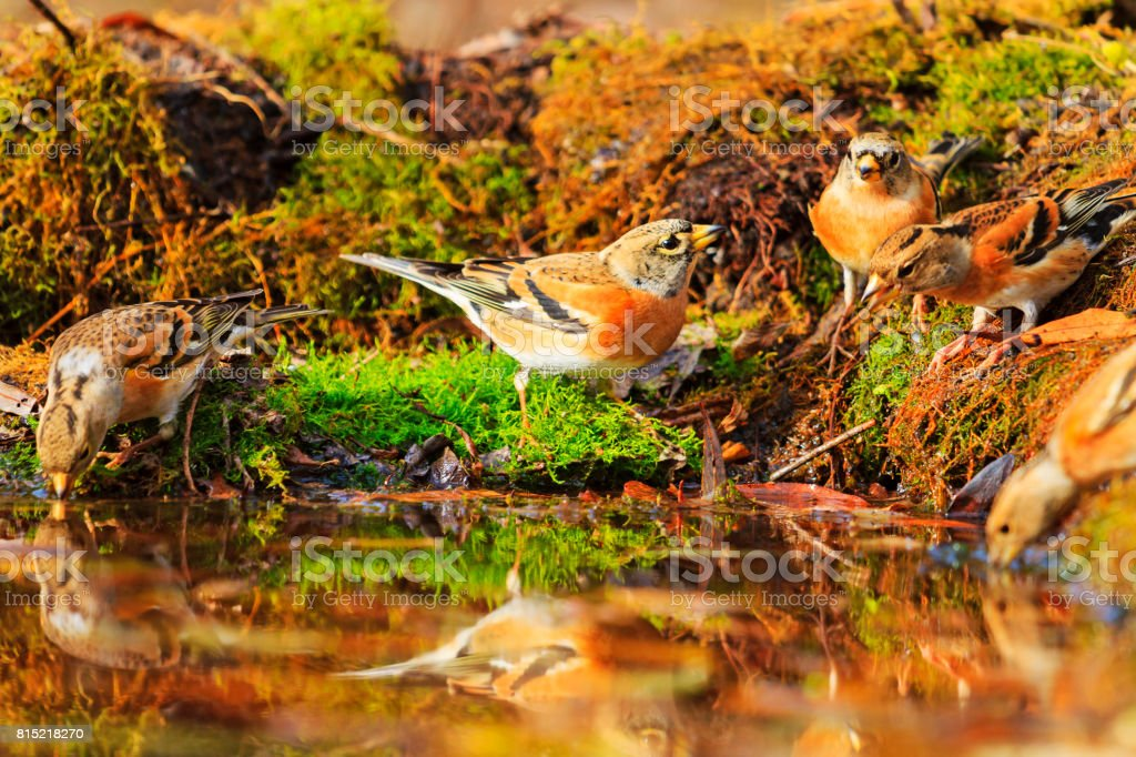 Forest birds among autumn fallen leaves stock photo