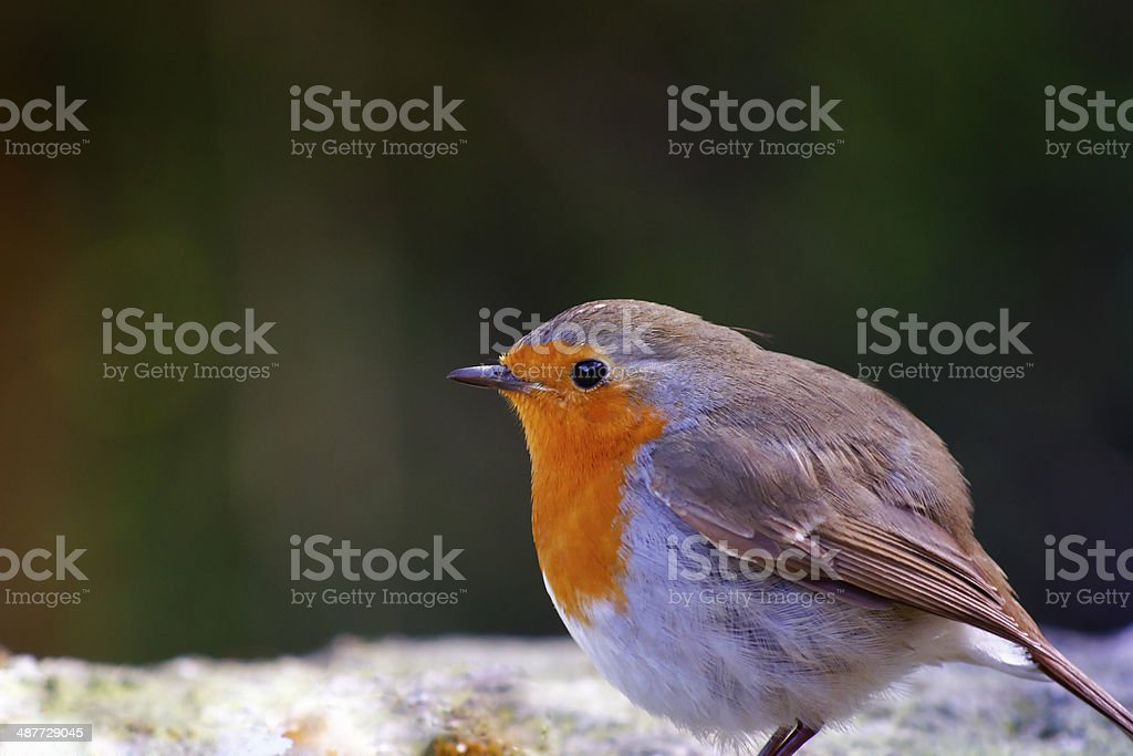 forest birds in Bulgaria royalty-free stock photo