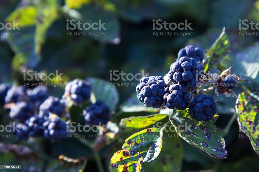 Forest blackberry stock photo