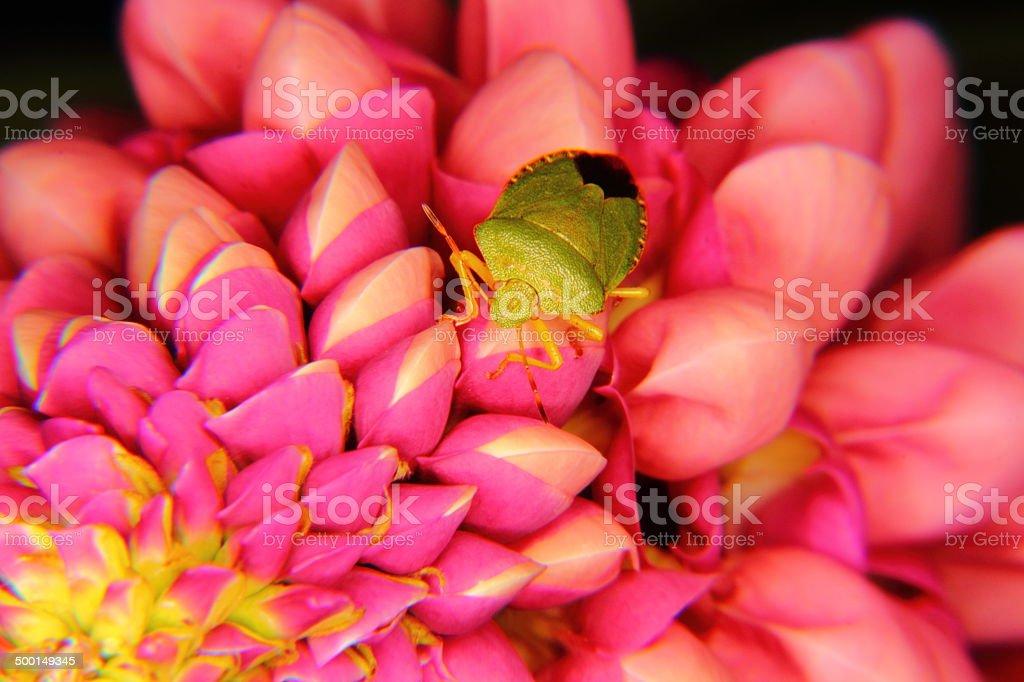 Forest bug. Hemiptera. royalty-free stock photo