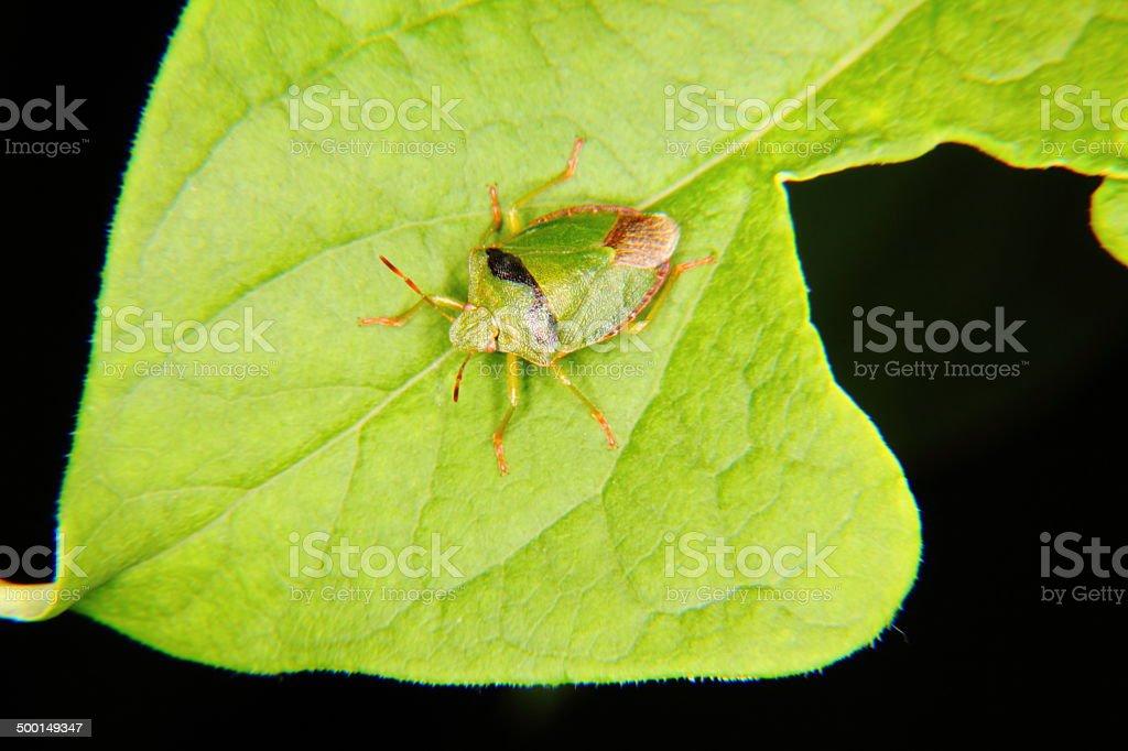Forest bug. Hemiptera. stock photo