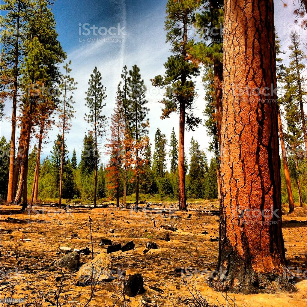 Forest burn area stock photo