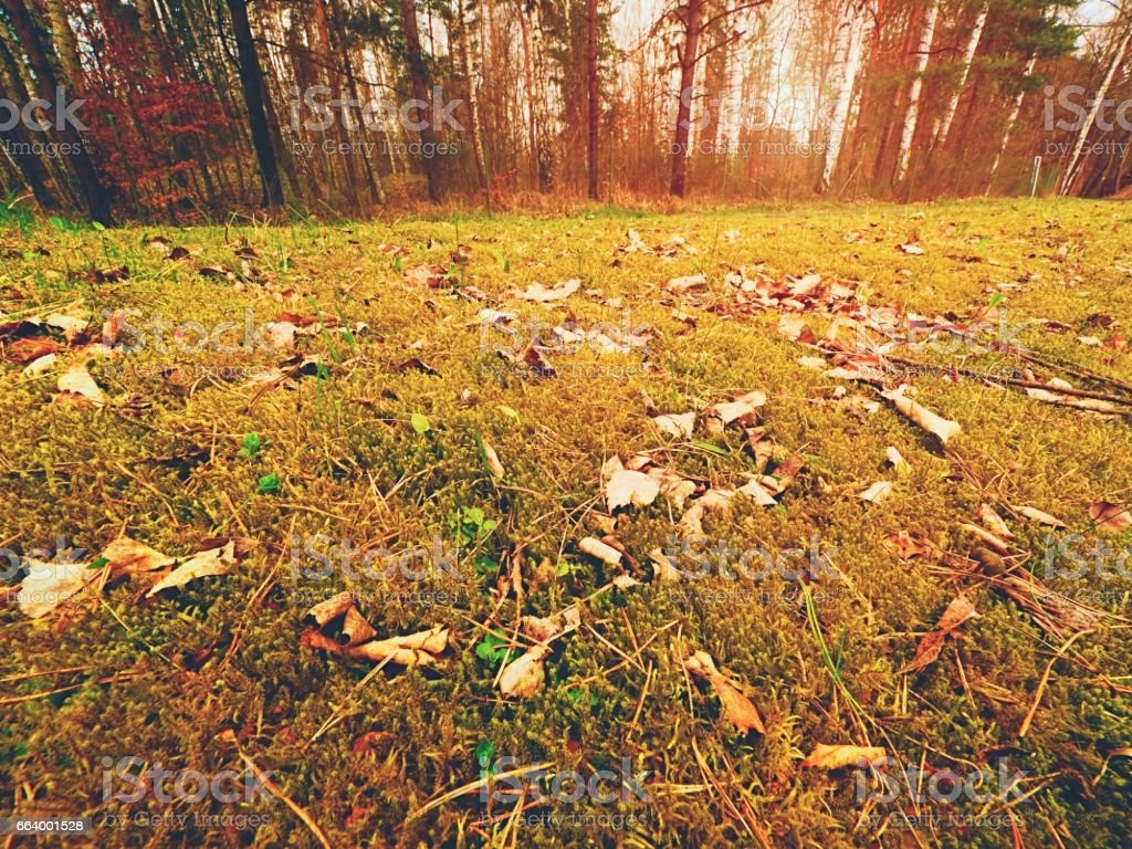 Forest carpet. Old leaves on dry moss in forest. Dry dusty moss, dry pine needles stock photo
