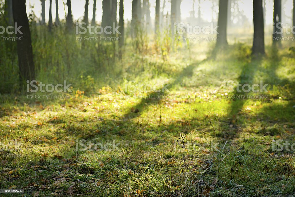 Forest clearing at sunrise royalty-free stock photo