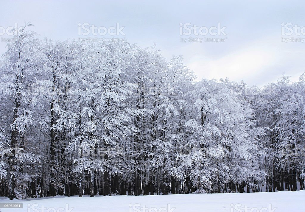 Forest covered in snow royalty-free stock photo