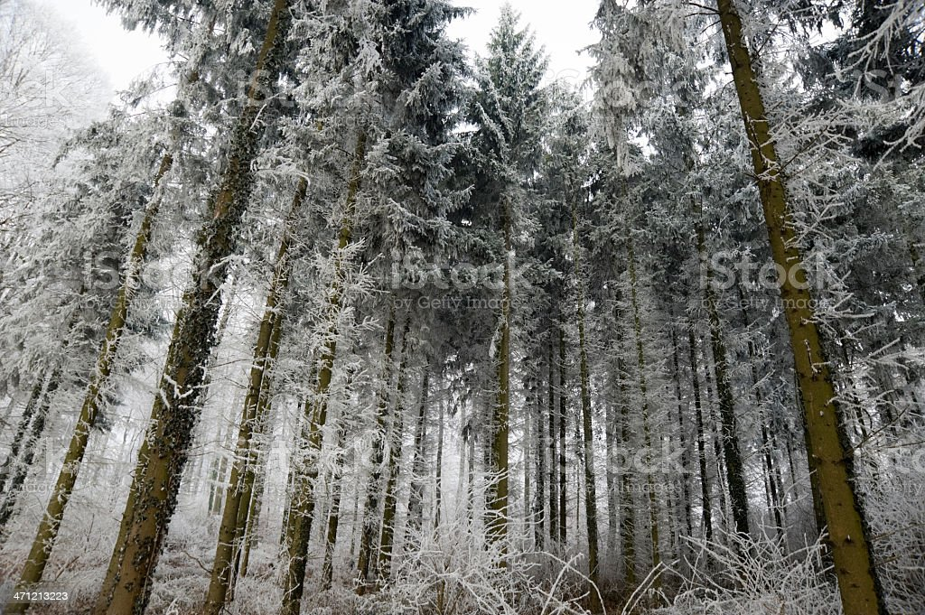 forest covered with frost stock photo