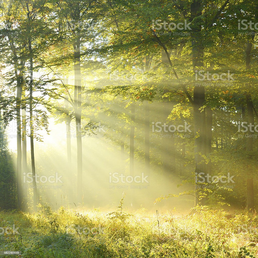 Forest dawn stock photo
