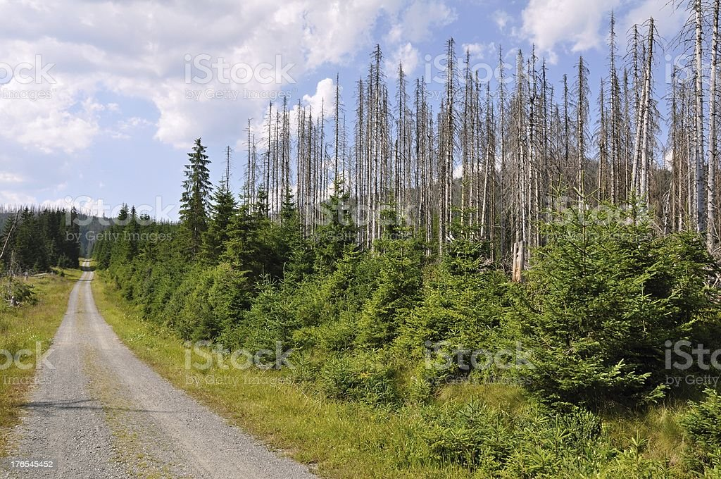 Forest destroyed by bark beetle stock photo