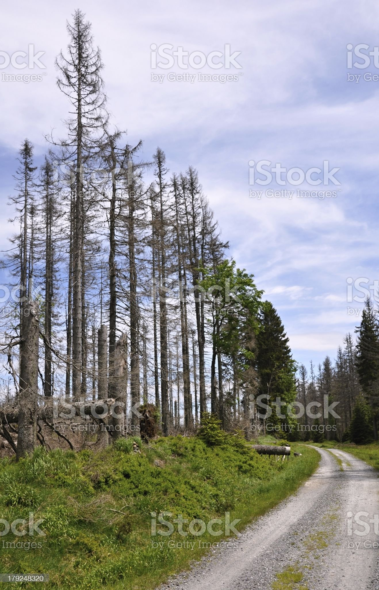 Forest destroyed by bark beetle royalty-free stock photo