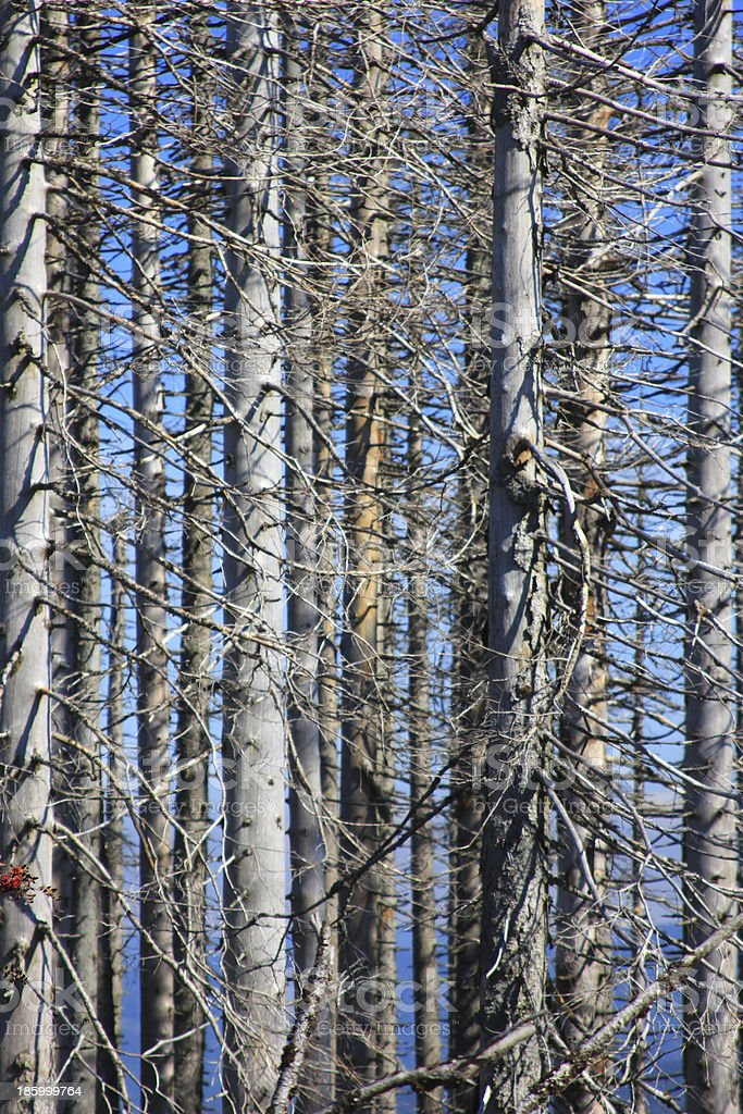 Forest dieback by bark beetle infestations stock photo