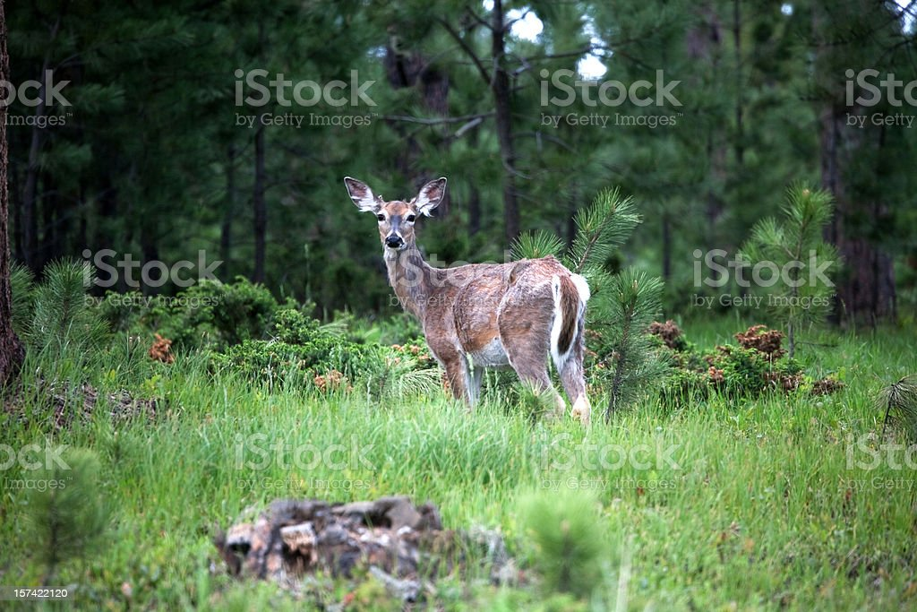 Forest Dweller stock photo