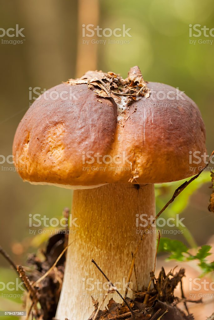 Forest edible mushroom Boletus edulis in stock photo