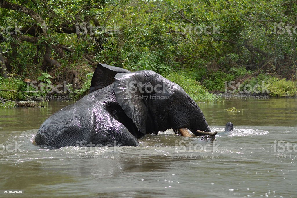 Forest Elephant, River Crossing stock photo