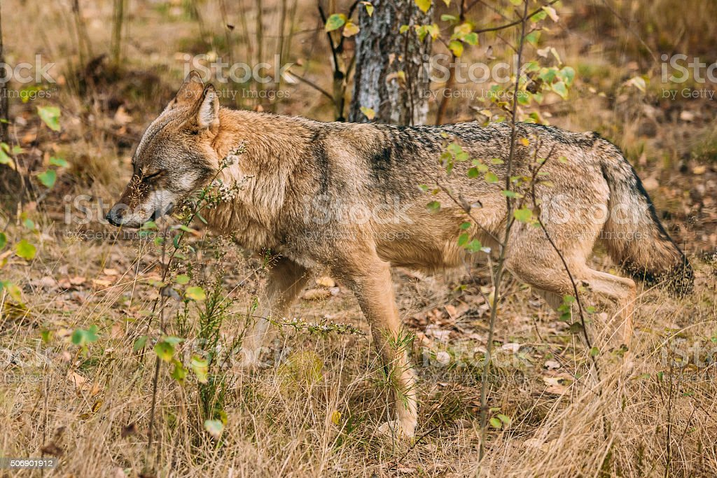 Forest Eurasian wolf in natural environment stock photo