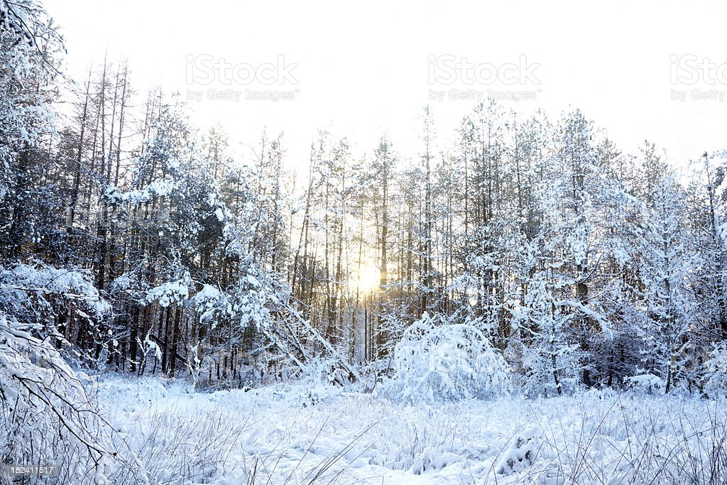 Forest evergreen trees in snow and bright winter sun royalty-free stock photo