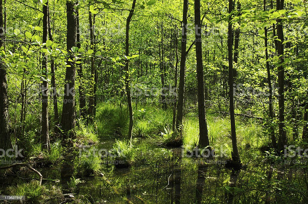 Forest Fen royalty-free stock photo