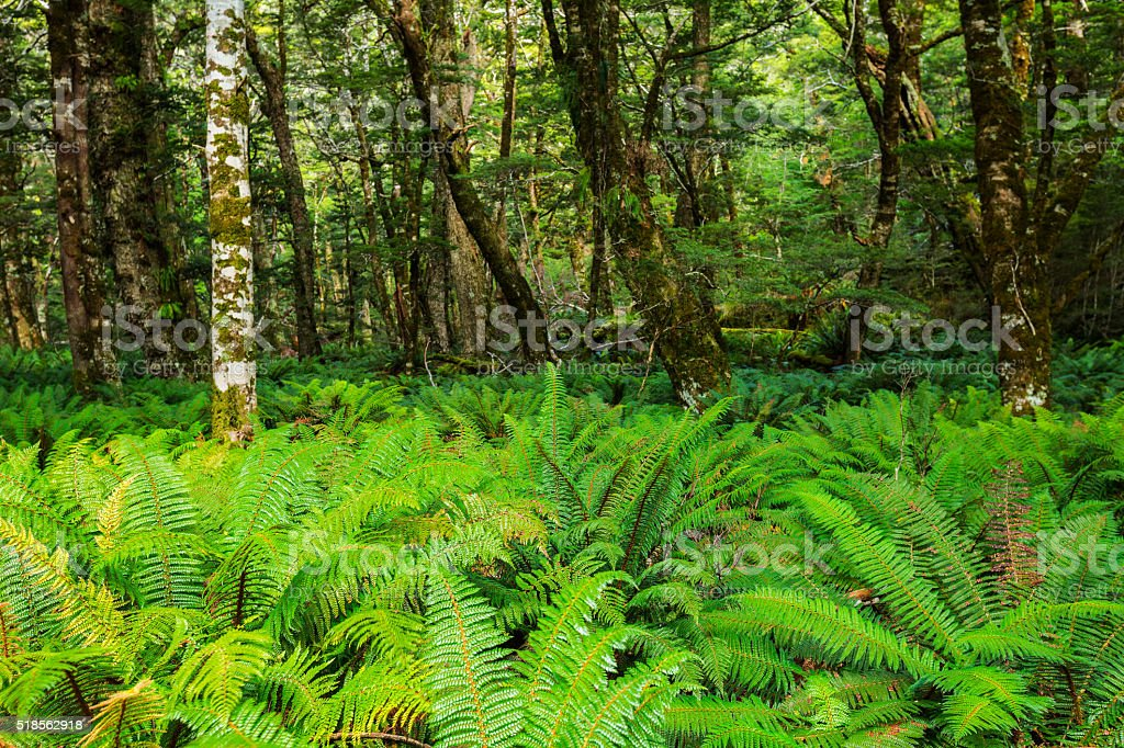 Forest ferns cover the rainforest stock photo