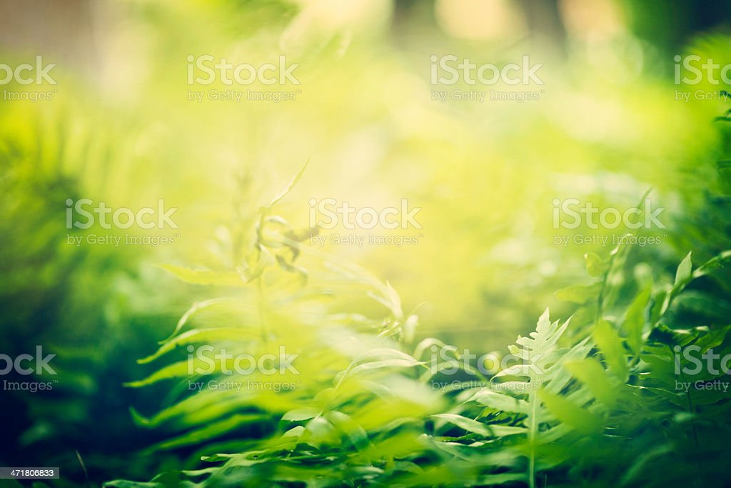 Forest Ferns in Sunlight royalty-free stock photo