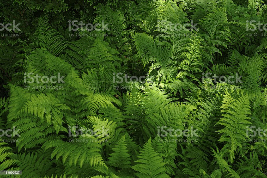 Forest Ferns royalty-free stock photo
