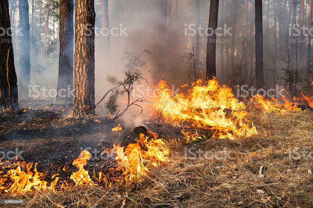 Forest fire in progress stock photo