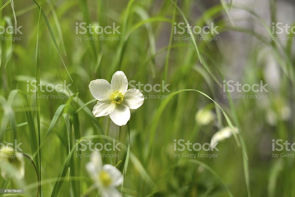 forest flowers anemone royalty-free stock photo