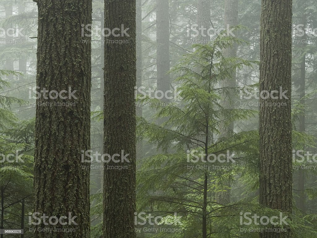Forest Fog among the Firs stock photo