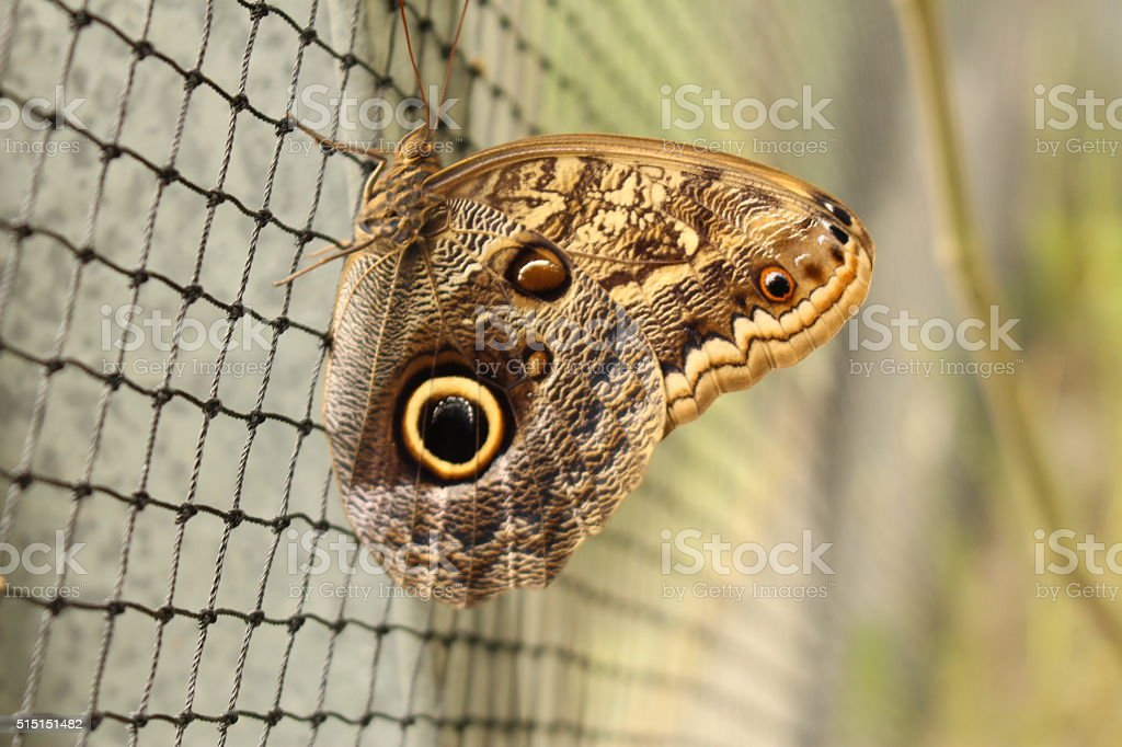 'Forest Giant Owl' butterfly - Caligo Eurilochus stock photo