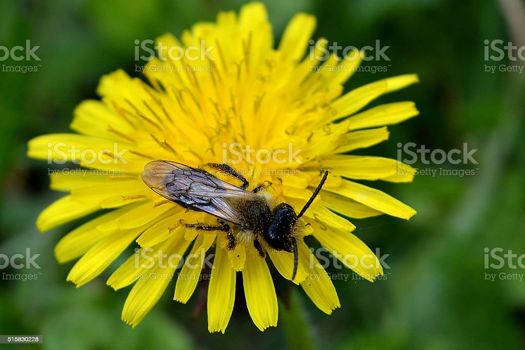 Forest gnats flying on a dandelion stock photo