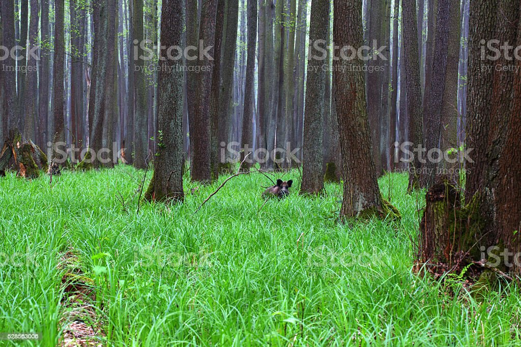 Forest, Grass, Boar stock photo