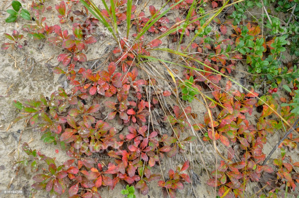 Forest grass red color is a natural cover in autumn stock photo