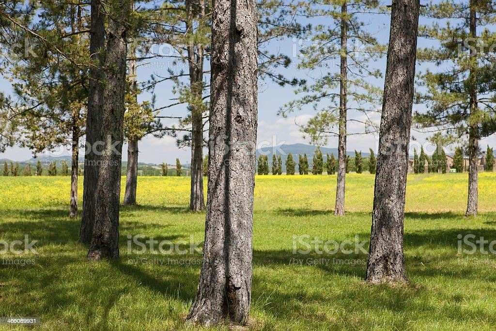Forest grove near Abbey of San Galgano, Tuscany, Italy stock photo