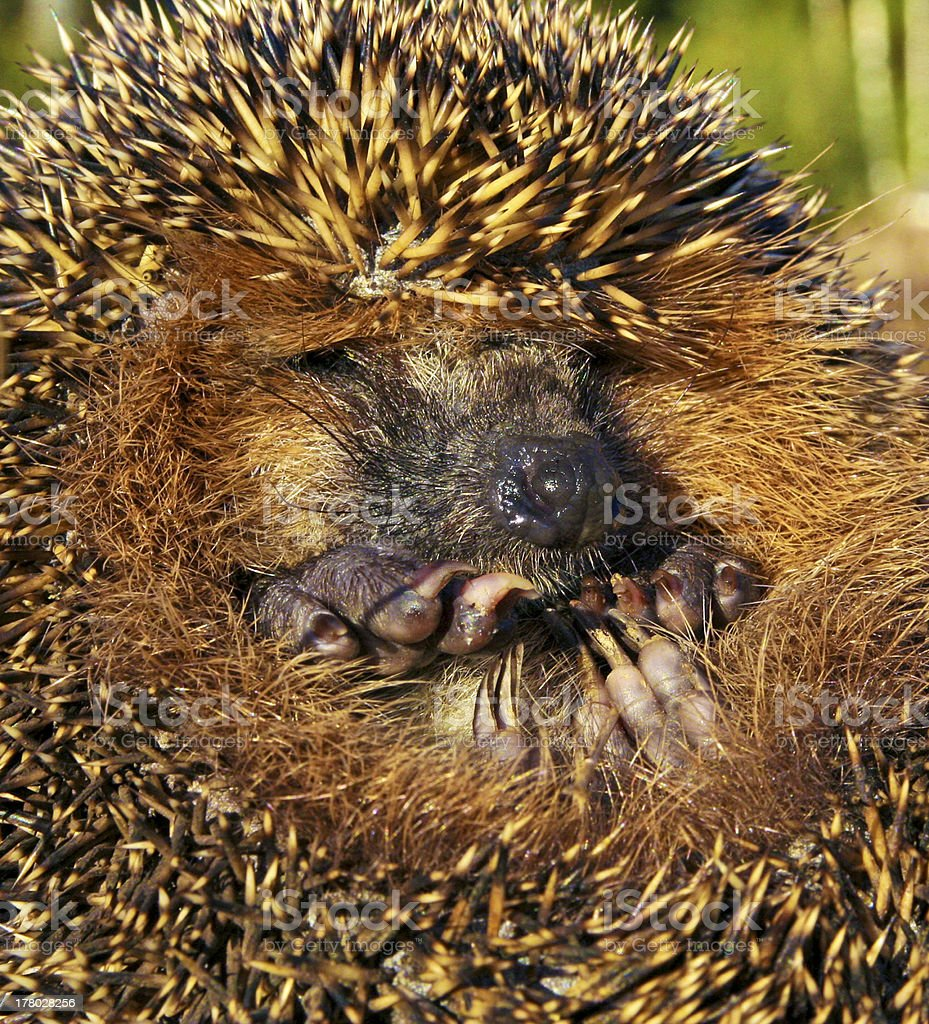 Forest hedgehog. stock photo