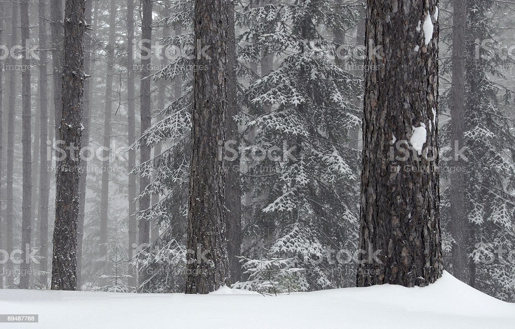 Forest in a snow storm. stock photo