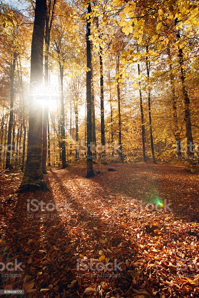 Forest in autumn at sunset stock photo