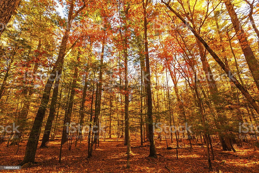 Forest in Autumn royalty-free stock photo