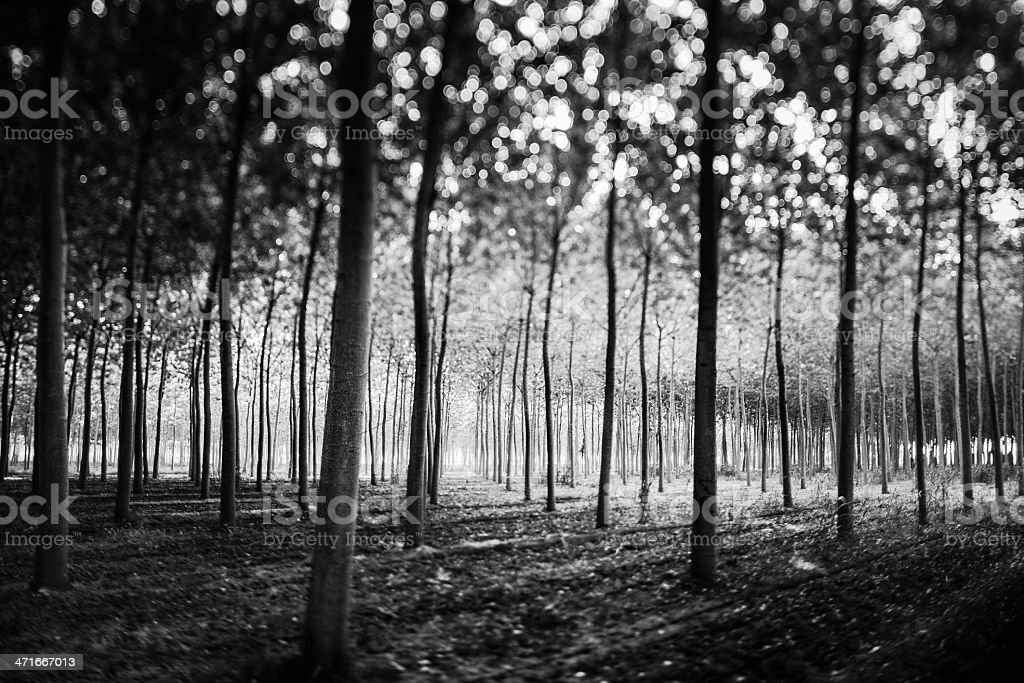 Forest in Black and White royalty-free stock photo