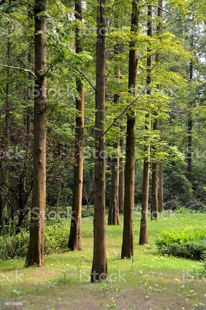 Forest in Chongming island, Shanghai stock photo