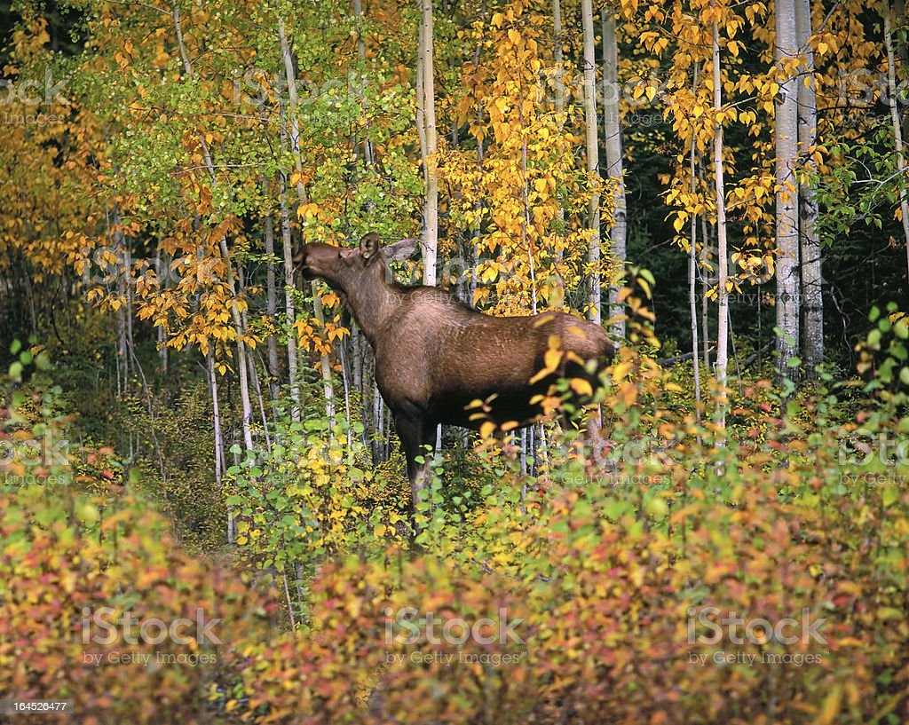 Forest in fall with moose royalty-free stock photo