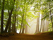 Forest in mist