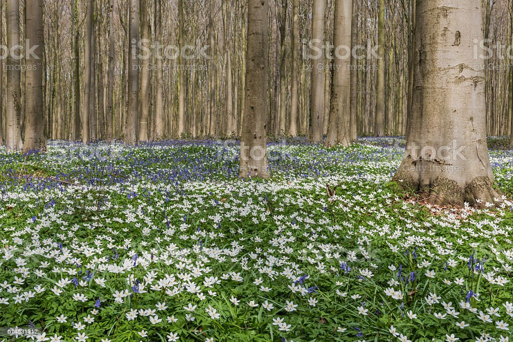 Forest in Spring with Bluebell and Anemone stock photo