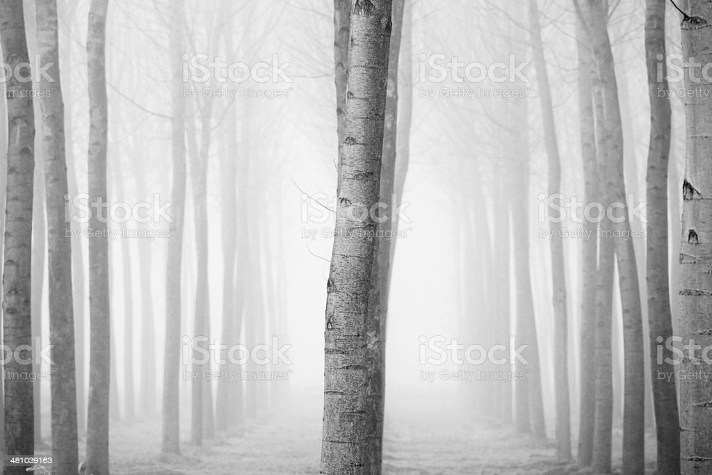 Forest in the fog in winter stock photo
