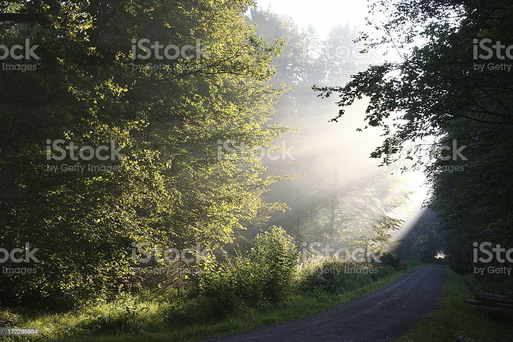 forest in the morning sunlight royalty-free stock photo